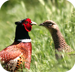pheasant and partridge